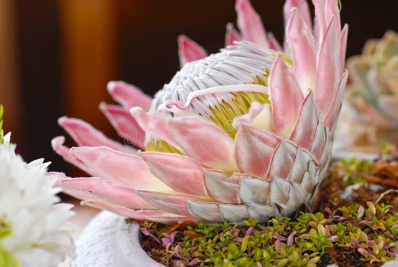 Flor de florescência grande do protea imagens de stock