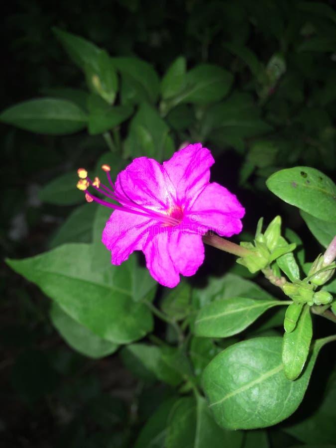 Flor de florescência na noite foto de stock royalty free