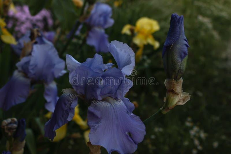 Flor de florescência de um close-up do botão da íris em um fundo de um canteiro de flores brilhantemente de florescência fotografia de stock royalty free