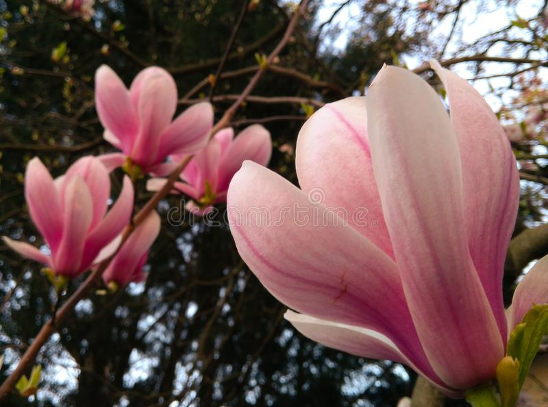Flor de floresc?ncia da magn?lia em um ramo de ?rvore imagens de stock royalty free