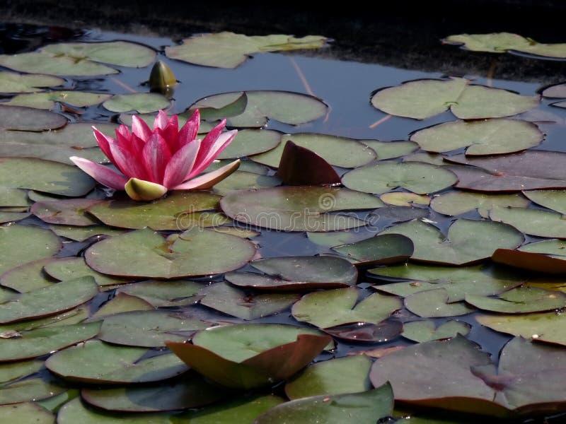 Flor de flutuação 2 do lírio imagens de stock royalty free