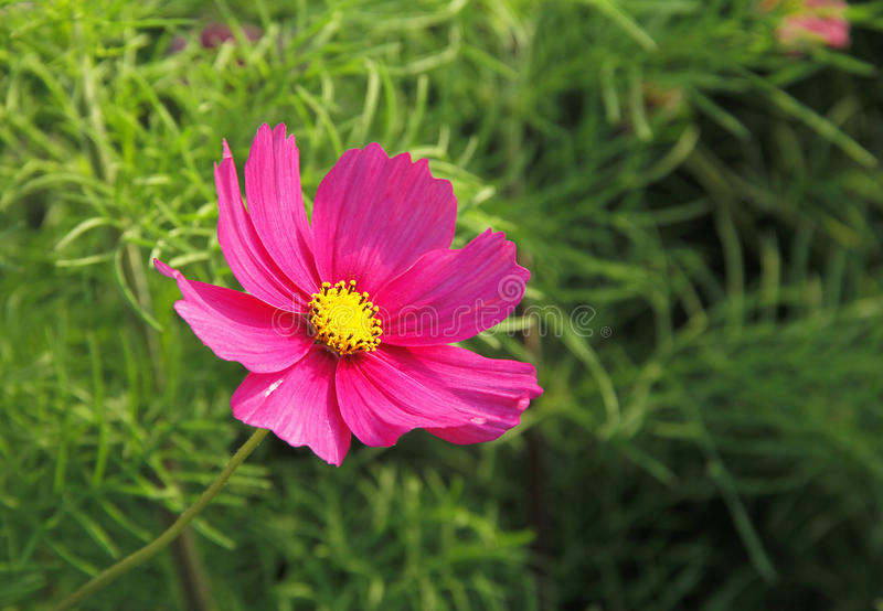 Flor de Galsang fotos de stock royalty free