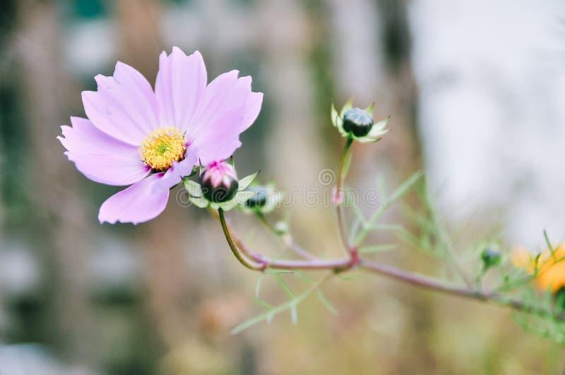 Flor de Galsang, cor-de-rosa imagem de stock