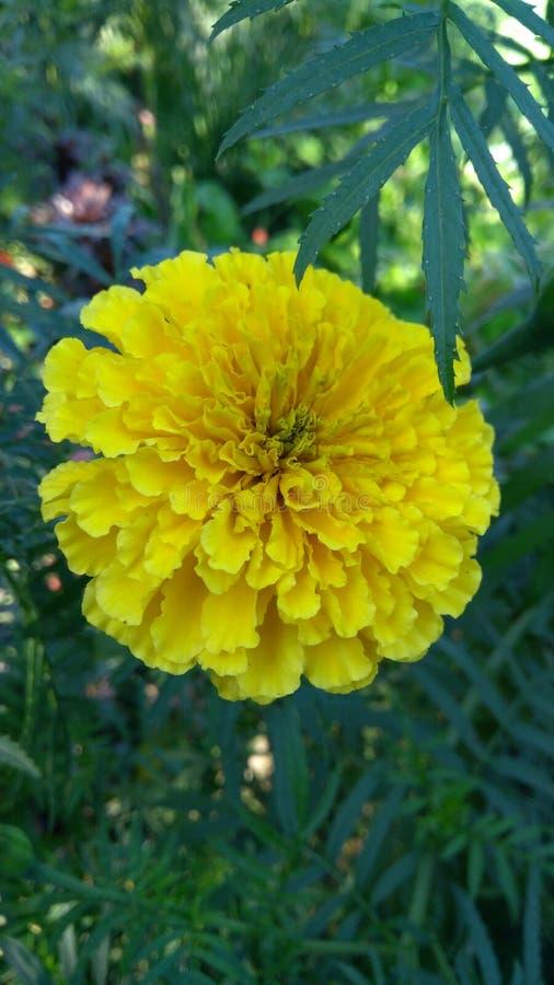 Flor de Genda fotografía de archivo libre de regalías