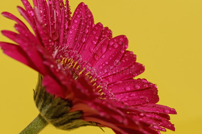 Flor de Germini foto de archivo