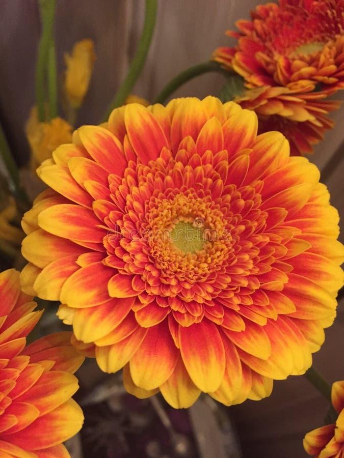 Flor de Germini fotografía de archivo