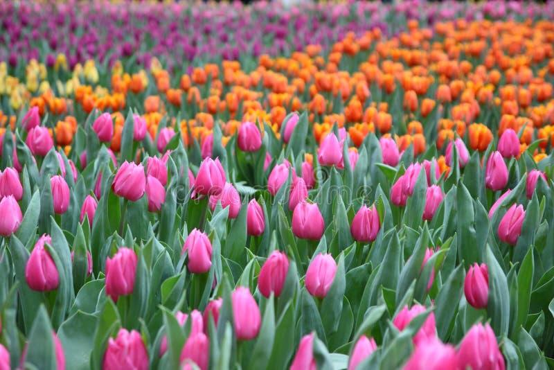 Flor de Gesneriana de Tulipa en jardín imagen de archivo libre de regalías