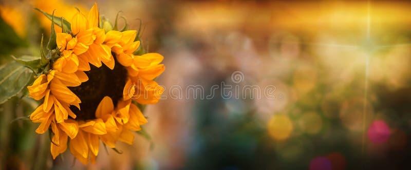 Flor de girassol no campo com boque imagem de stock