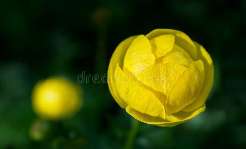 Flor de globo amarilla brillante en el jardín imagenes de archivo