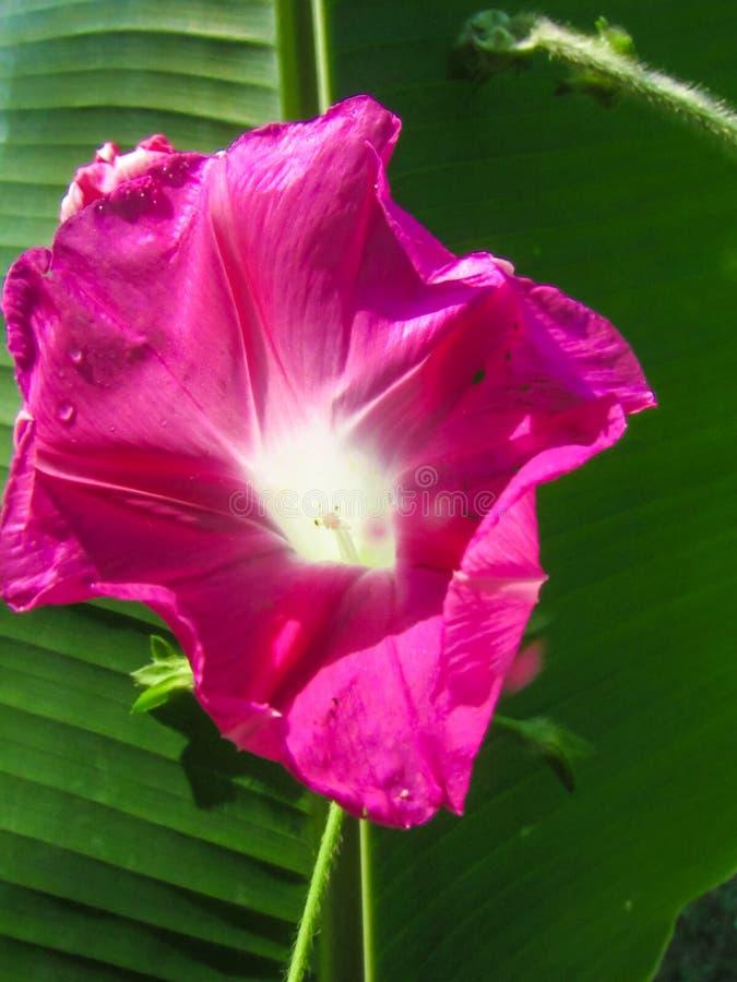Flor de gloria de la mañana rosa en flor foto de archivo
