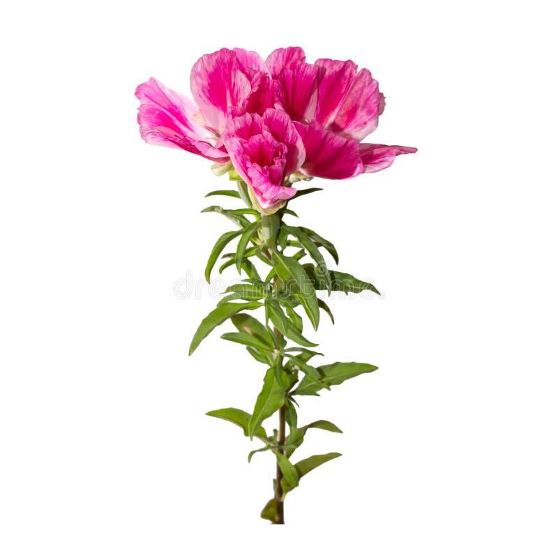 Flor de Godetia aislada Una rama de la primavera rosada y púrpura hermosa florece imagen de archivo libre de regalías