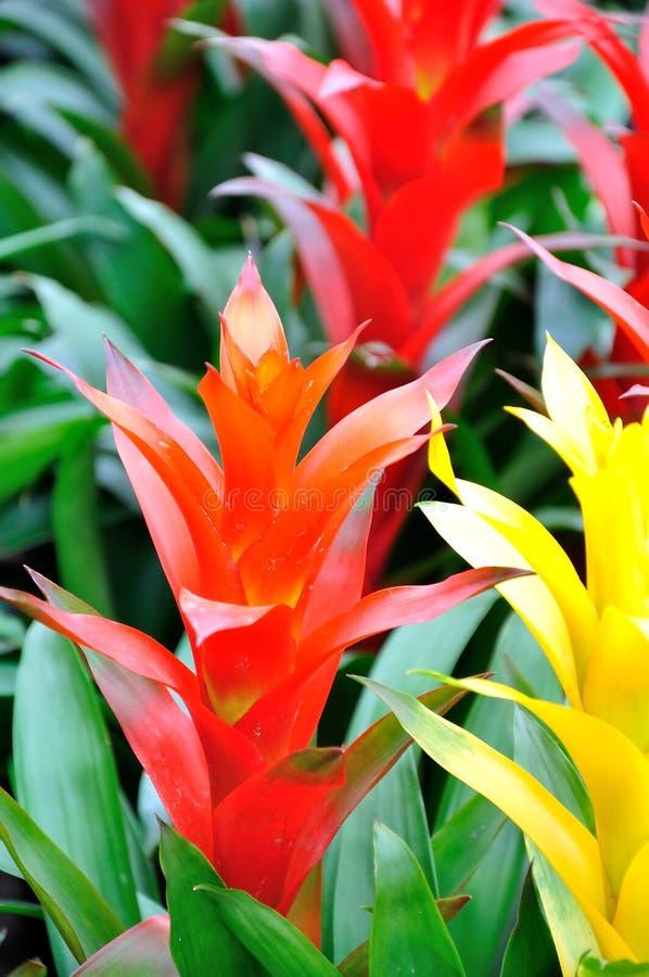 Flor de Guzmania imagens de stock