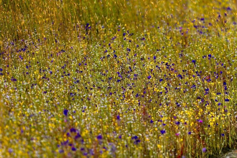 Flor de Hedyotis sp Utricularia da mistura da flor bifida fotos de stock