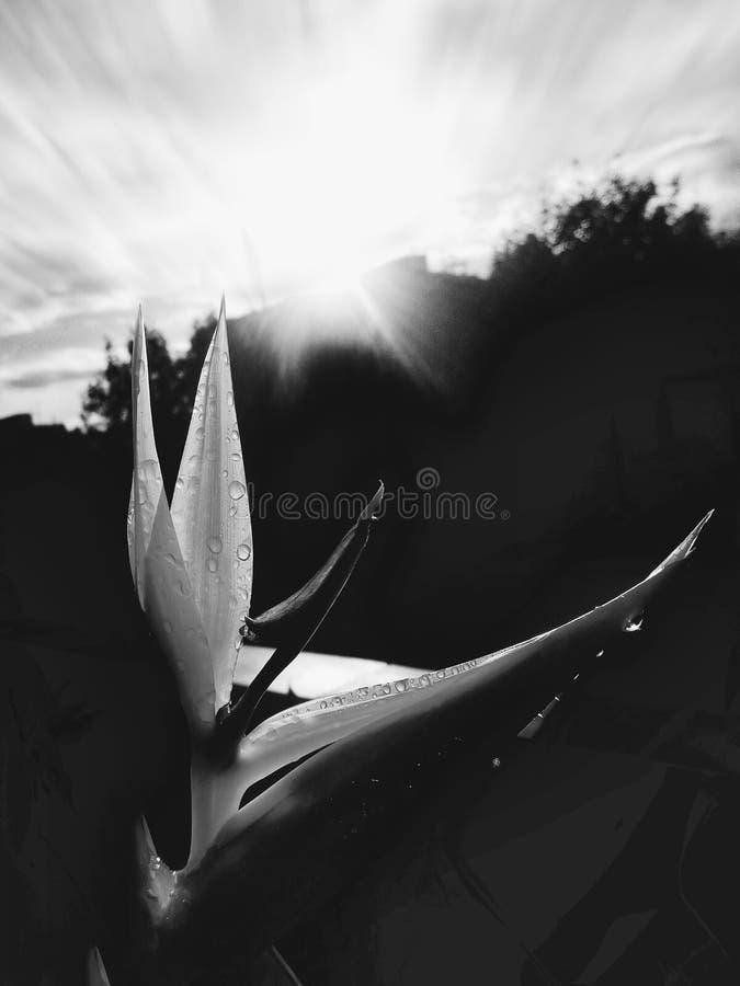 Flor de Helicon foto de stock royalty free
