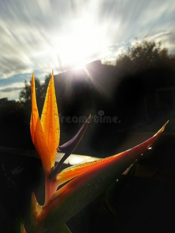 Flor de Helicon fotografia de stock royalty free