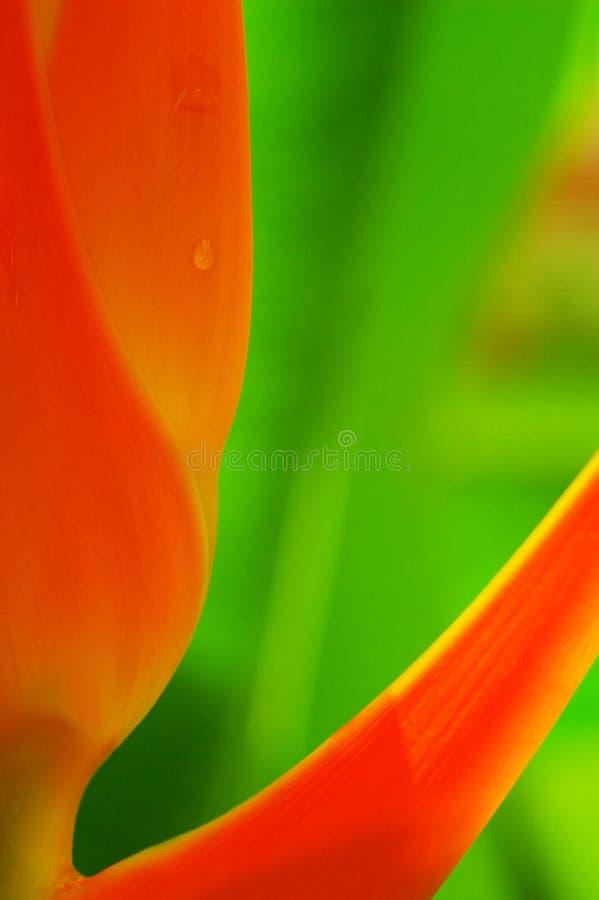 Flor de Heliconia foto de stock