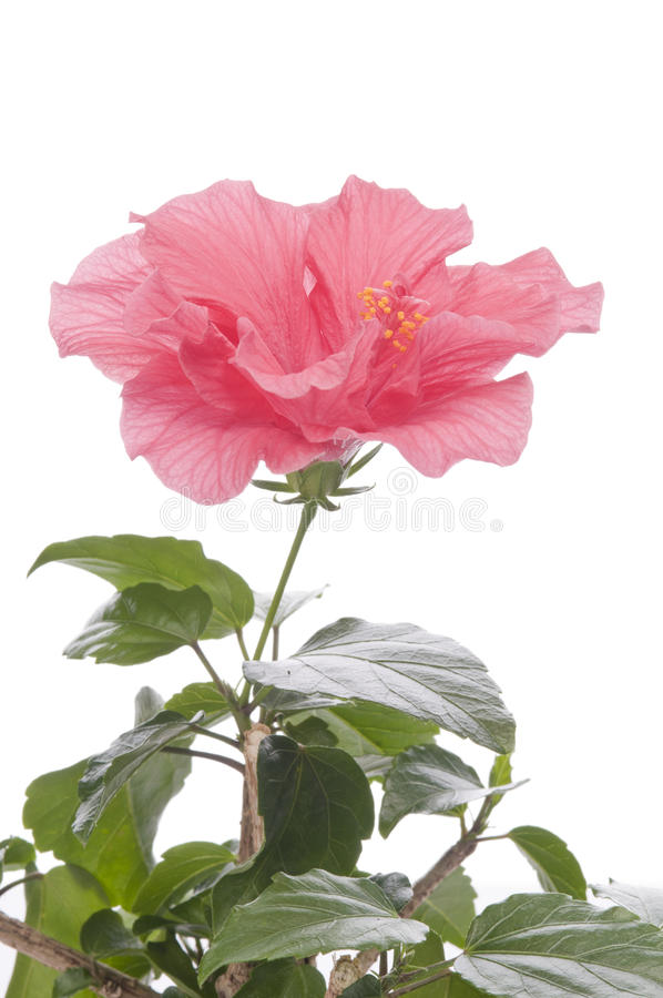 Flor de Hibiskus foto de stock