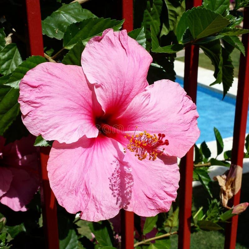 Flor de Hibiskus fotografia de stock