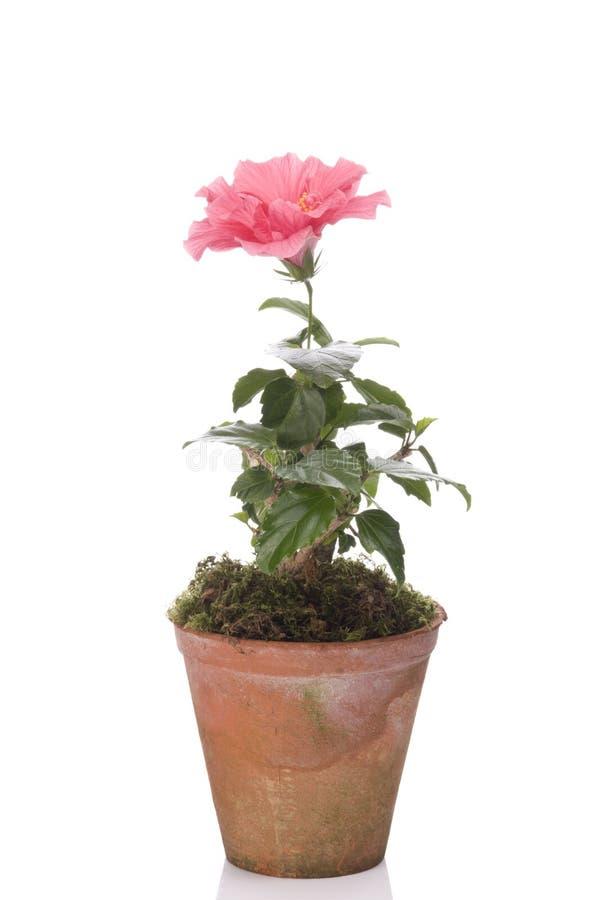 Flor de Hibiskus em um potenciômetro fotografia de stock royalty free