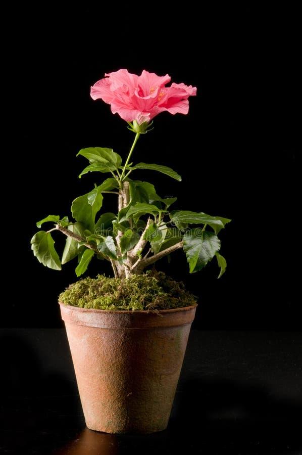 Flor de Hibiskus en un crisol fotografía de archivo