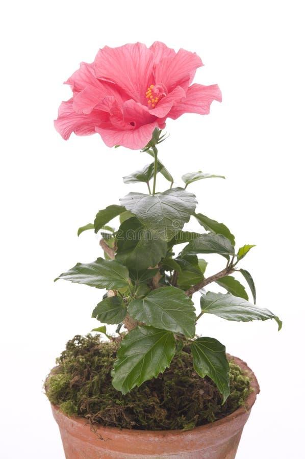 Flor de Hibiskus en un crisol imágenes de archivo libres de regalías