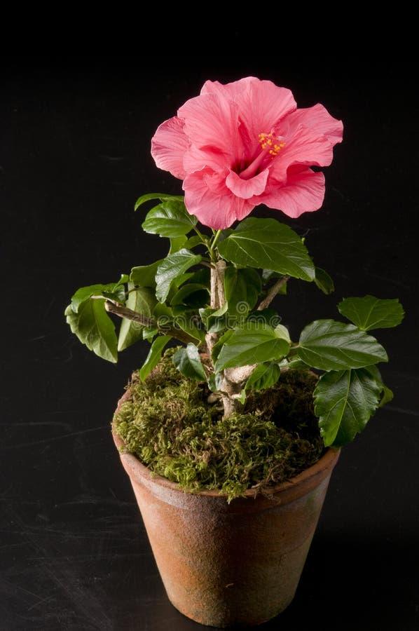 Flor de Hibiskus en un crisol fotografía de archivo libre de regalías
