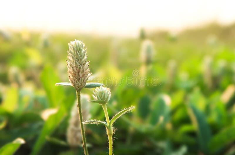 Flor de hierba de Gomphrena o Campo eterno del planeta salvaje foto de archivo