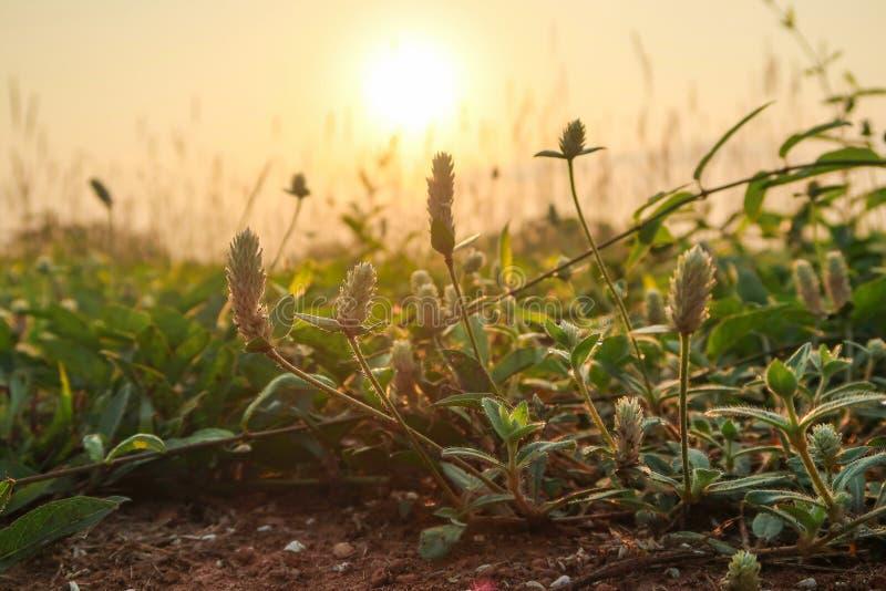 Flor de hierba de Gomphrena o Campo eterno del planeta salvaje imágenes de archivo libres de regalías