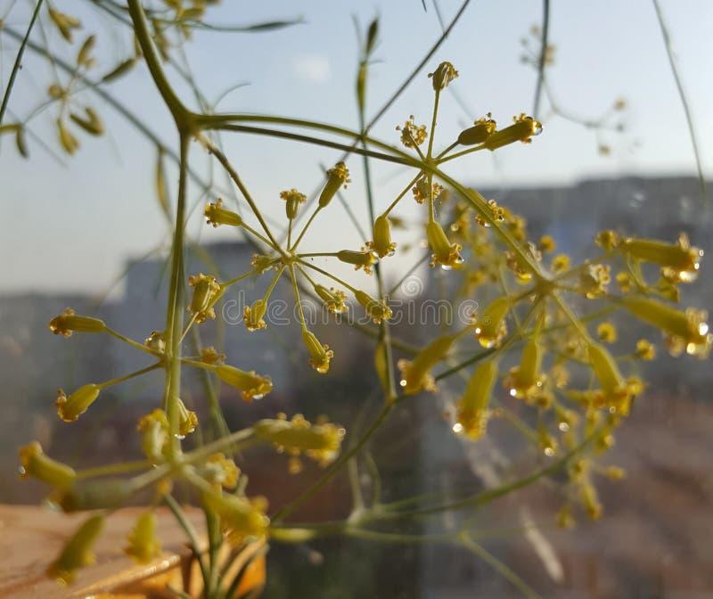 Flor de hinojo fotos de archivo libres de regalías