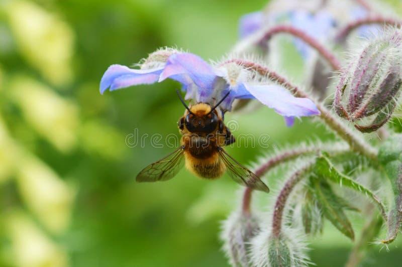 Flor de Honey Bee y de la borraja fotografía de archivo libre de regalías