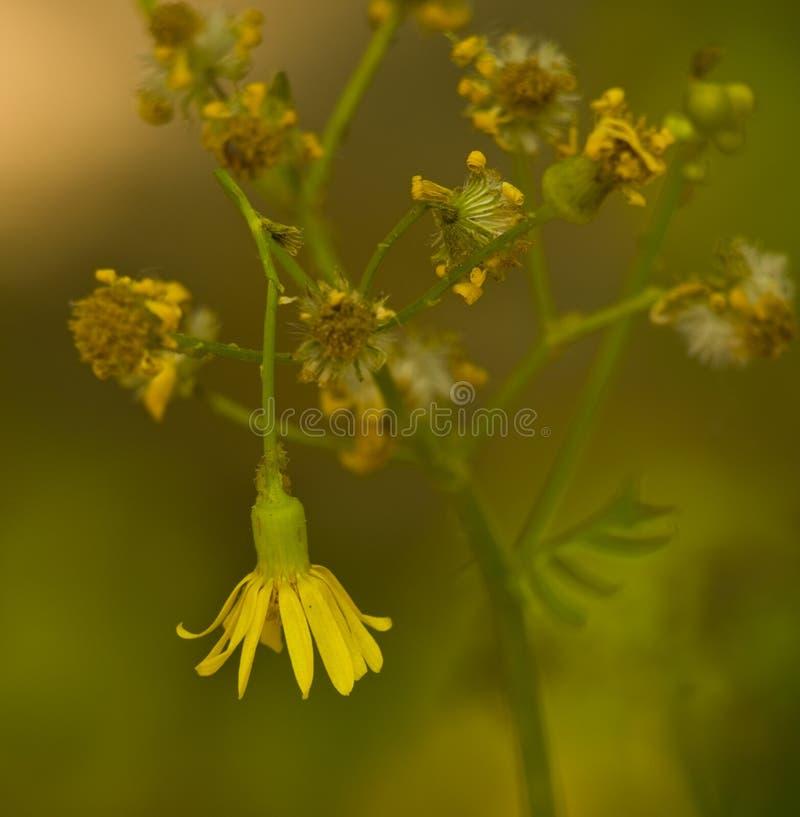 Flor de inclinación del yellowtop fotos de archivo libres de regalías