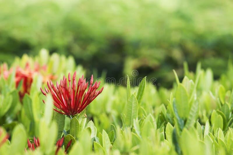 Flor de Ixora imagens de stock
