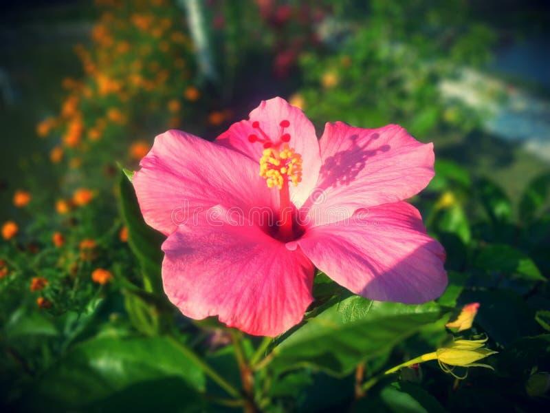 Flor de Jaba fotos de archivo