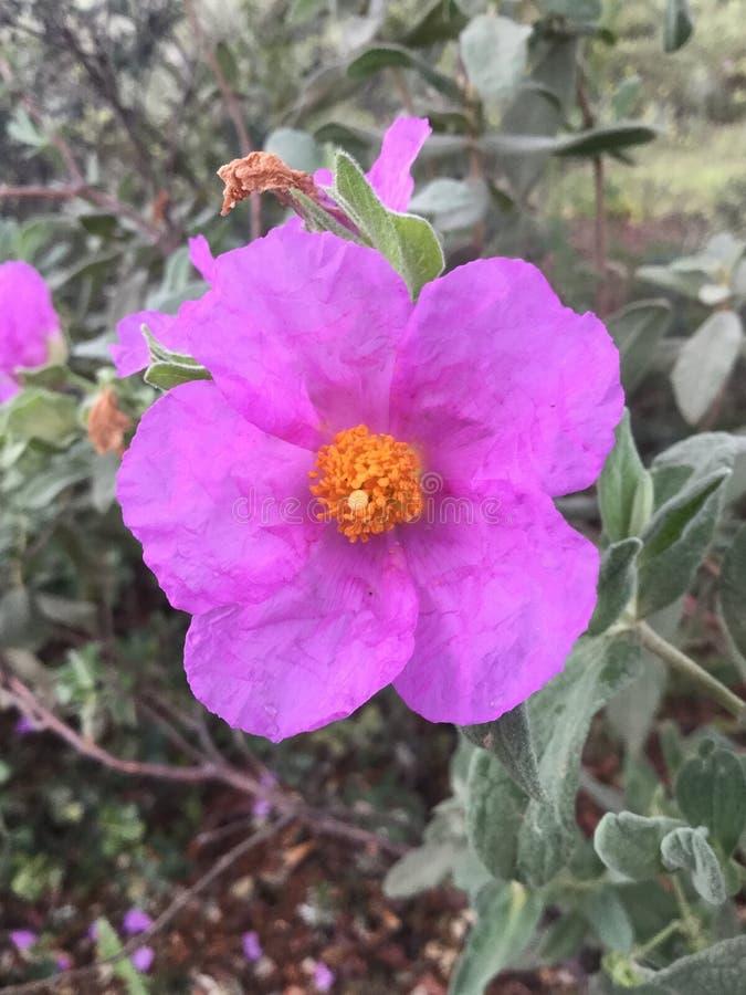 Flor de Jara Blanca fotos de stock royalty free