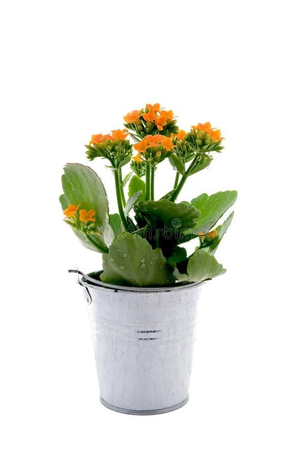 Flor de Kalanchoe foto de archivo