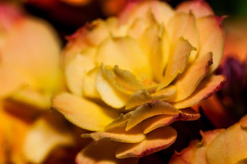 Flor de Kalencoe fotografia de stock royalty free