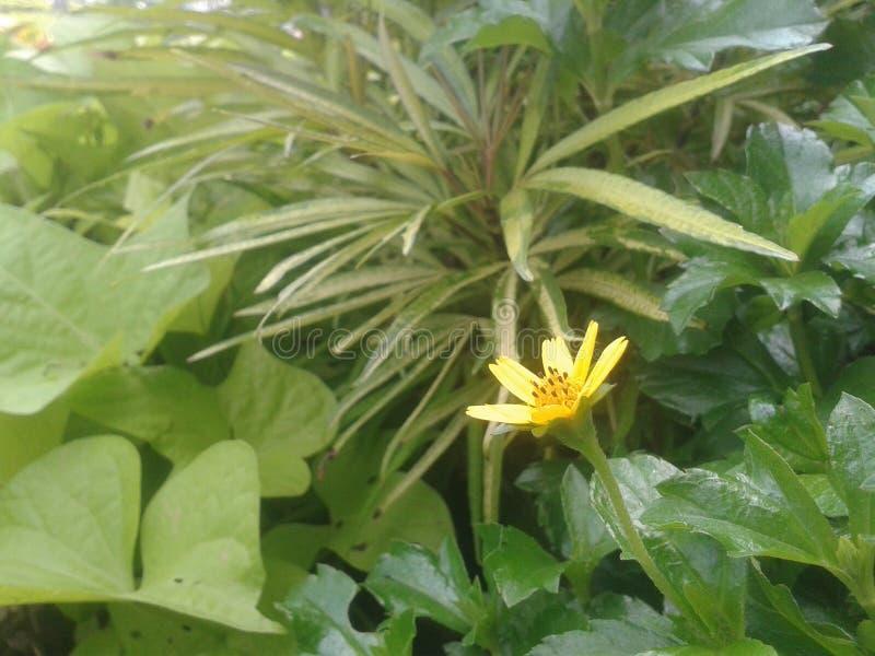 Flor de Krokot fotografia de stock