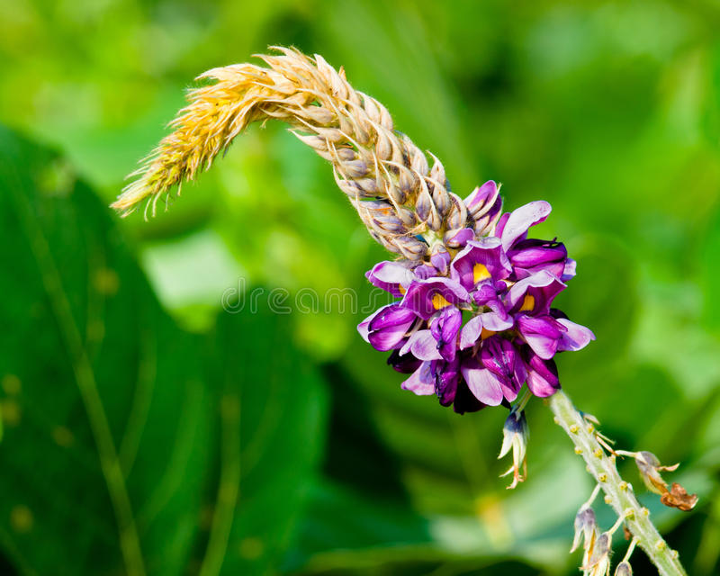 Flor de Kudzu imagen de archivo libre de regalías