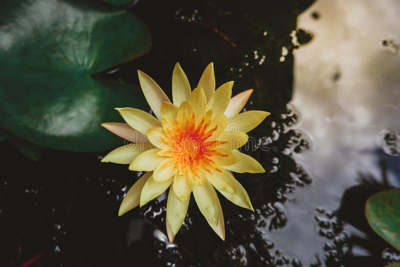 Flor de lótus amarela asiática na lagoa fotografia de stock royalty free