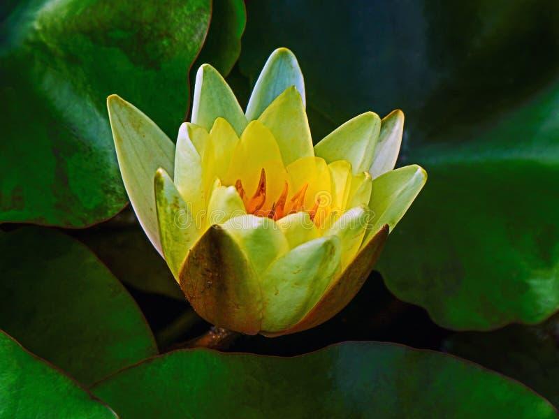 Flor de lótus amarela com as folhas do verde amarelo fotografia de stock
