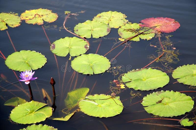 Flor de lótus azul numa lagoa Srimangal na Divisão Sylhet, Bangladesh fotografia de stock royalty free