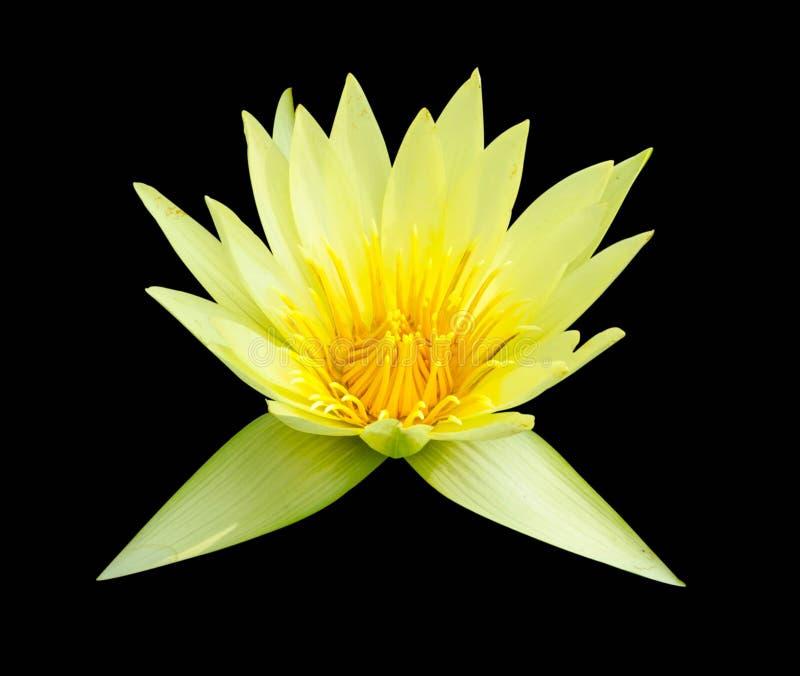 Flor de lótus bonita isolada no fundo preto imagem de stock royalty free