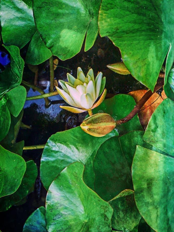 Flor de lótus brancos com as folhas do verde amarelo foto de stock