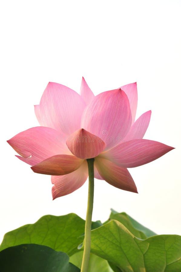 Flor de lótus cor-de-rosa da flor imagens de stock royalty free