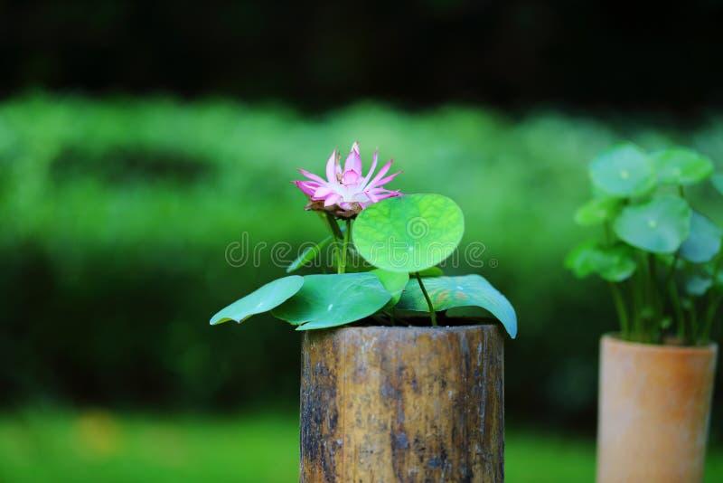 Flor de lótus cor-de-rosa fotos de stock royalty free