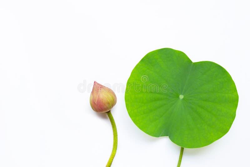 Flor de l?tus cor-de-rosa com as folhas verdes no branco imagem de stock royalty free