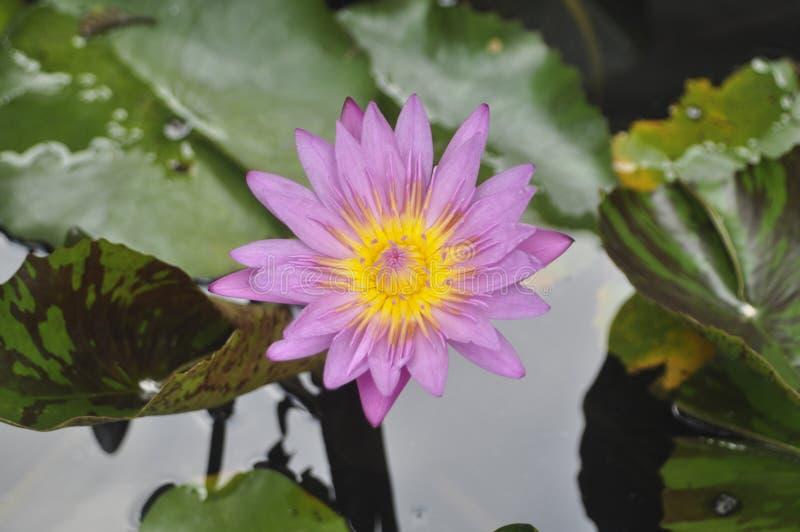 Flor de lótus da flor fotografia de stock