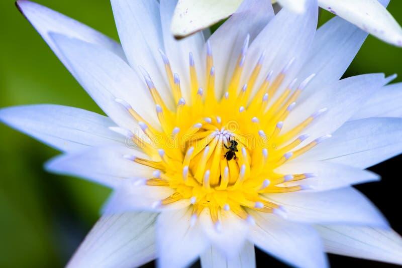 Flor de lótus do close up com enxame da abelha foto de stock