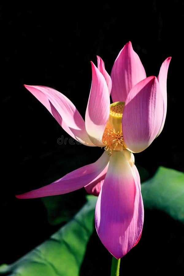 Flor de lótus de florescência cor-de-rosa bonita isolada no fim vertical da luz solar do fundo preto acima fotos de stock
