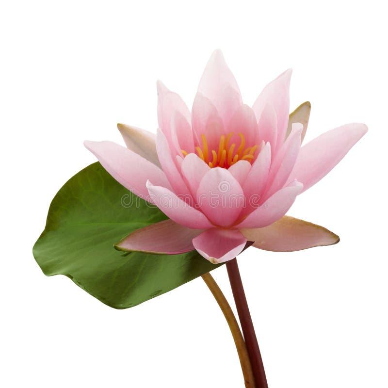 Flor de lótus ou lírio de água cor-de-rosa com a folha verde isolada no fundo branco imagens de stock